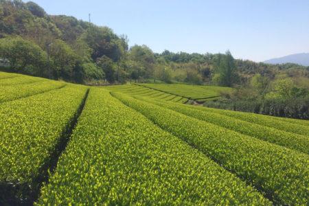 里山ポタリング(茶畑ルート)